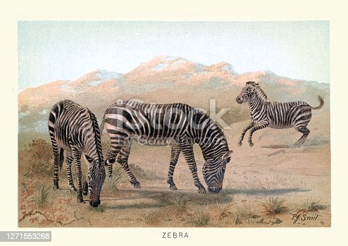Vintage illustration of Zebra, Wildlife of Africa, 19th Century