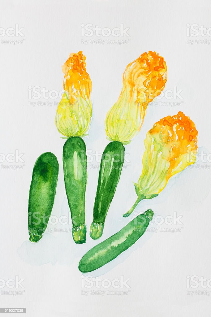 Zucchini &Zucchini Blossoms'watercolor painnted vector art illustration