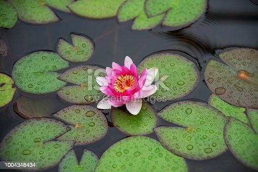 вода, цветок, красота, кувшинки, водняной цветок, красный, зеленый, капли, влага,