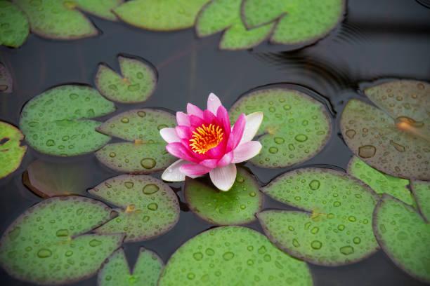 водные кувшинки - wasserlilien stock-fotos und bilder
