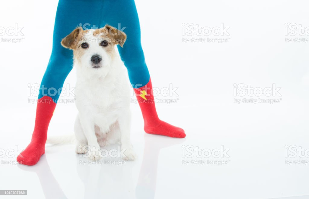 JACK RUSSELL DOG SITTING BETWEEN CHILD LEGS WHO IS WEARING HERO SOCKS OR TIGHTS. ISOLATED AGAINST WHITE BACKGROUND WITH COPY SPACE. stock photo