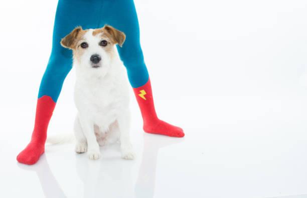 jack russell hund sitzt zwischen den beinen des kindes, die tragen held socken oder strumpfhosen ist. vor weißem hintergrund mit textfreiraum isoliert. - hunde strumpfhosen stock-fotos und bilder