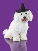 MALTESE BICHON DOG WEARING A WIZARD OR WITCH HAT COSTUME ON HALLOWEEN SEASON. ULTRA VIOLET COLORED BACKGROUND.