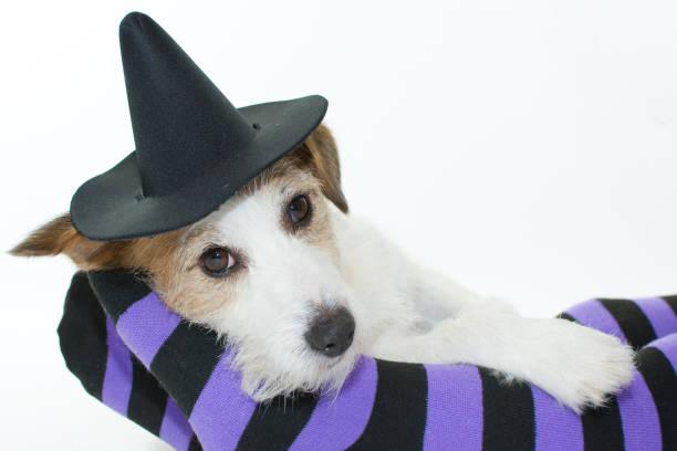 cute halloween hund hexe oder zauberer hut auf violett und schwarze socken oder strumpfhosen mit textfreiraum liegend. - hunde strumpfhosen stock-fotos und bilder