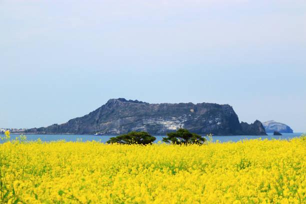 섭지코지,일출봉,유채꽃,제주도,바다, - jeju island stock photos and pictures