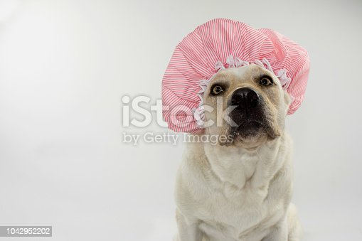 FUNNY DOG WAITING FOR A BATH WITH A SHOWER CAP. ISOLATED AGAINST GRAY  AND WHITE BACKGROUND