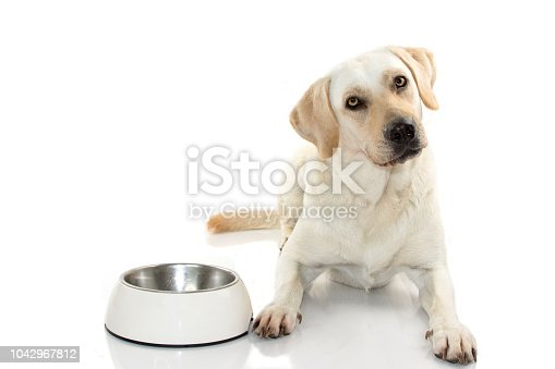 HUNGRY MIXEDBRED OF MASTIFF AND LABRADOR RETREIVER EATING FOOD IN A WHITE BOWL. ISOLATED ON WHITE BACKGROUND. STUDIO SHOT. COPY SPACE