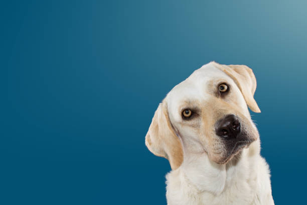 DOG THINKING AND TILTING THE HEAD SIDE AND LOOKING AT CAMERA. ISOLATED AGAINST BLUE COLORED BACKGROUND. stock photo
