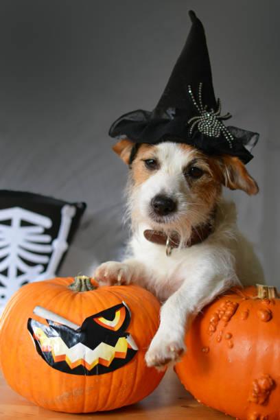 niedliche jack russell hund mit halloween hexenhut, sitzt neben einige kürbisse - hund spinnenkostüm stock-fotos und bilder