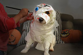 DOG DRESSED AS A MUMMY OR ZOMBIE FOR A HALLOWEEN  COSTUME PARTY WITH TOILET PAPER, BLOOD AND DEAD EYE. CHILD HANDS MAKING UP.