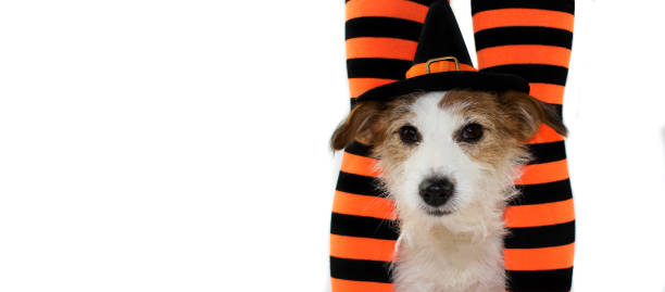 banner von einem niedlichen halloween hund einen hut hexe oder zauberer gestreifte orange und schwarze socken des besitzers kind sitzen. vor weißem hintergrund mit textfreiraum isoliert. - hunde strumpfhosen stock-fotos und bilder