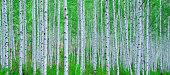 원대리 자작나무 숲은 1974년부터 1995년까지 138ha에 자작나무 690,000본을 조림하여 관리하고 있고, 그 중 25ha를 유아숲체험원으로 운영하고 있다. 자작나무 숲의 탐방은 입구에서 입산기록 후 도보로 이용할 수 있다. 자작나무 숲만이 간직한 생태적, 심미적, 교육적 가치를 발굴하여 제공하고자 마련된 곳이다.  이 곳은 봄부터 겨울까지 4계절에 걸쳐 사진인을 비롯해 대중들에게 인기를 끌고 있다.