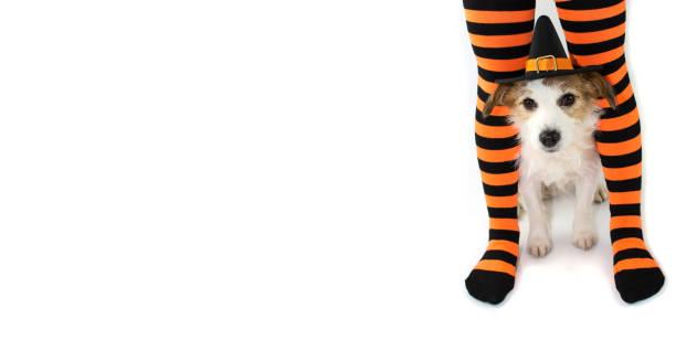 banner von einem niedlichen halloween hund einen hut hexe oder zauberer gestreiften orange und schwarze socken oder strumpfhosen des besitzers kind sitzen. vor weißem hintergrund mit textfreiraum isoliert. - hunde strumpfhosen stock-fotos und bilder