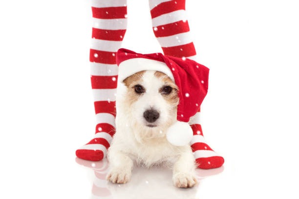 niedlichen hund trägt eine rote sant weihnachtsmütze liegend zwischen gestreift rot-weiße socken wie hintergrund mit textfreiraum - hunde strumpfhosen stock-fotos und bilder