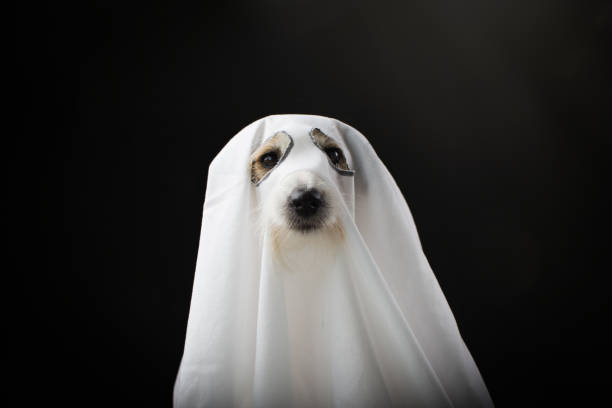 DOG HALLOWEEN GHOST COSTUME PARTY, ISOLATED AGAINTS BLACK BACKGROUND DOG HALLOWEEN GHOST COSTUME PARTY, ISOLATED AGAINTS BLACK BACKGROUND pet clothing stock pictures, royalty-free photos & images