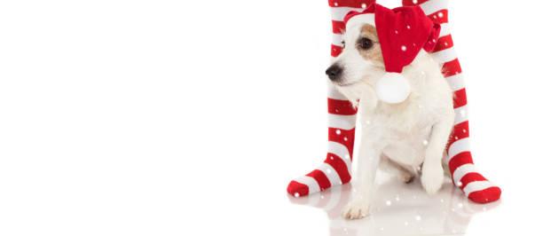 banner von einem niedlichen jack russell hund einen roten santa weihnachten hut sitzt zwischen gestreift rot-weiße socken wie hintergrund mit textfreiraum. auf weißen hintergrund isoliert - hunde strumpfhosen stock-fotos und bilder
