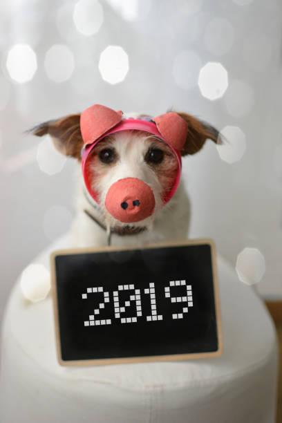 lustige jack russell hund gekleidet wie ein schwein mit diy-kostüm s feiert chinesisches neujahr 2019 - chinesischer kalender stock-fotos und bilder