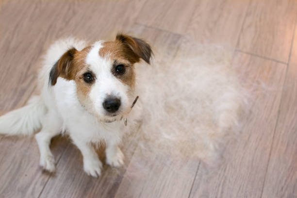 FURRY JACK RUSSELL DOG, SHEDDING HAIR DURING MOLT SEASON, LOOKING UP WITH SAD EXPRESSION. FURRY JACK RUSSELL DOG, SHEDDING HAIR DURING MOLT SEASON, AFTER ITS OWNER  BRUSHED OR GROOMING LOOKING UP WITH SAD EXPRESSION. shed stock pictures, royalty-free photos & images