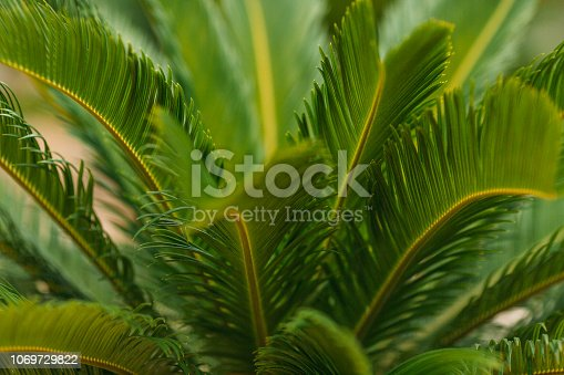 909846922 istock photo CLOSE-UP OF PALM LEAVES 1069729822