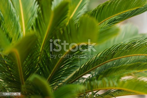 909846922 istock photo CLOSE-UP OF PALM LEAVES 1069729878