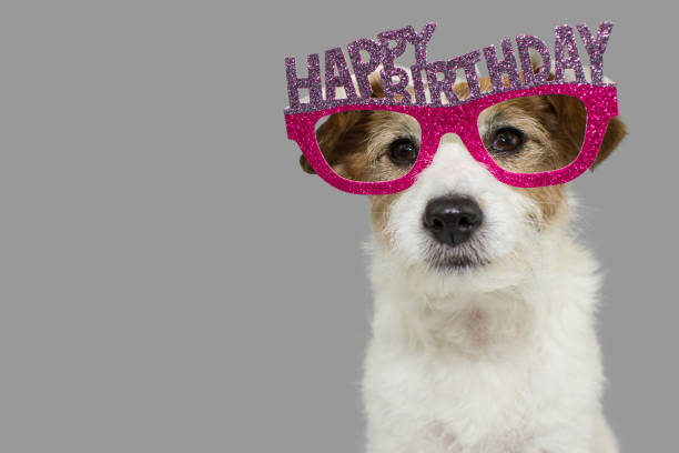 dog celebrating a party. cute jack russell wearing pink and purple birthday glasses with text. isolated against gray colored background. - happy birthday stock pictures, royalty-free photos & images