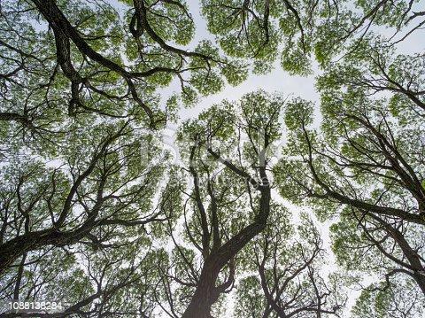Ракита белая - деревья из семейств ивовых весной