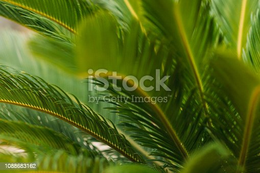 909846922 istock photo CLOSE-UP OF PALM LEAVES 1088683162
