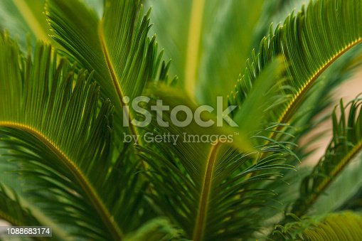 909846922 istock photo CLOSE-UP OF PALM LEAVES 1088683174