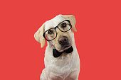 ELEGANT AND CLASSY DOG WITH GLASSES AND BLACK TIE. TILTING HEAD. ISOLATED AGAINST CORAL TREND BACKGROUND.