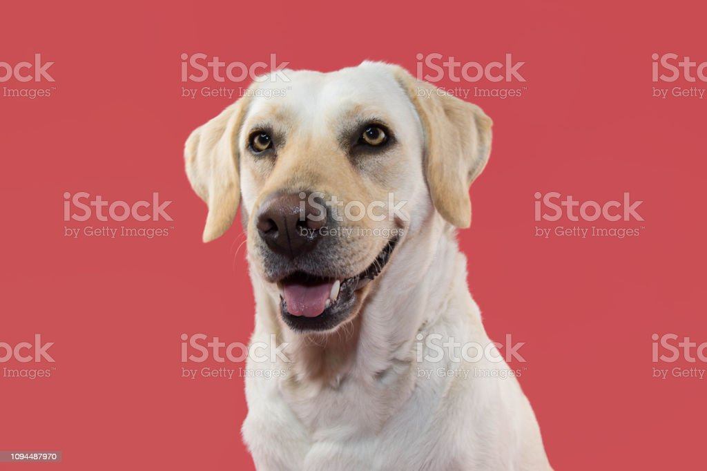 PORTRAIT OF A  HAPPY LABRADOR RETRIEVER DOG. ISOLATED STUDIO SHOT AGAINST CORAL BACKGROUND. stock photo