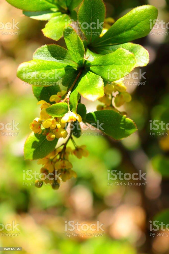 한라산, 섬매자나무꽃, 봄, - foto de stock
