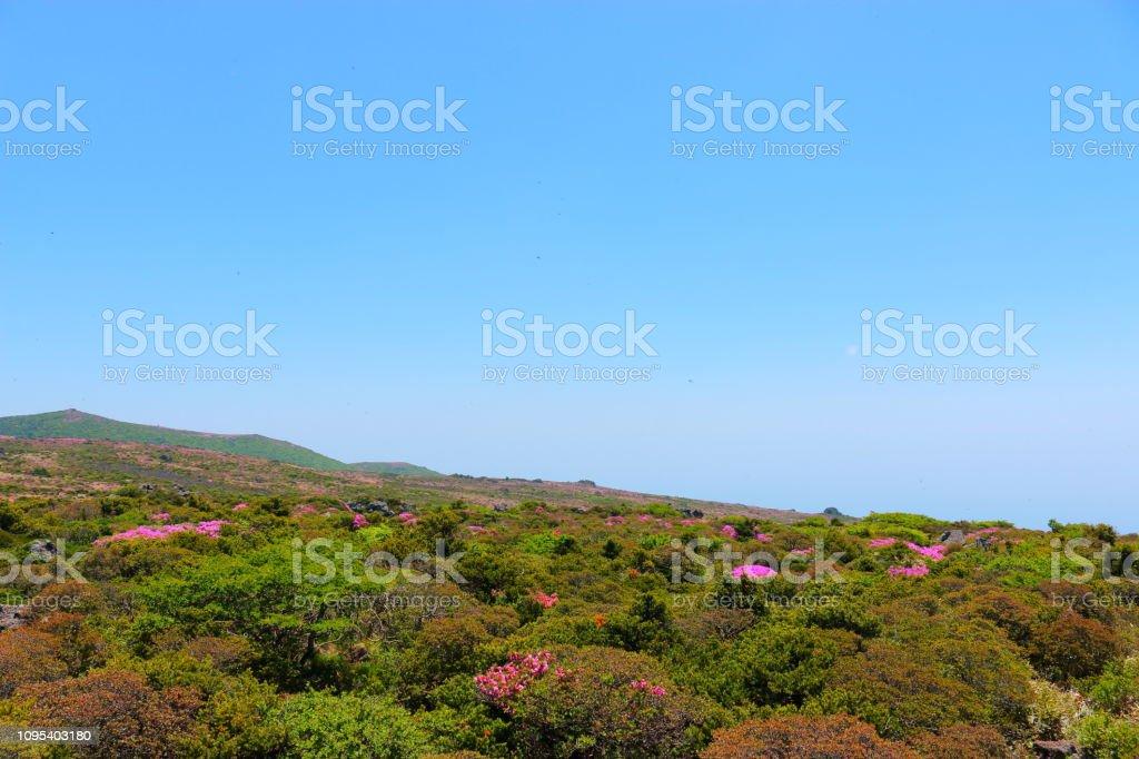 한라산, 철쭉꽃, 봄, - foto de stock