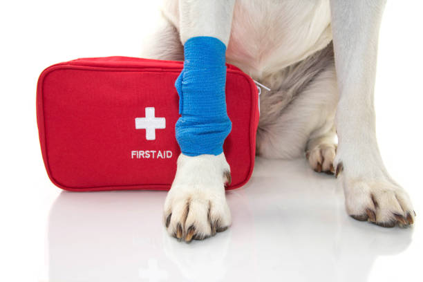 부상된 강아지입니다. 파란 붕대로 발 래브라도를 닫거나 발 및 비상사태 또는 firt에 탄성 밴드 지원 키트. - 응급 처치 뉴스 사진 이미지