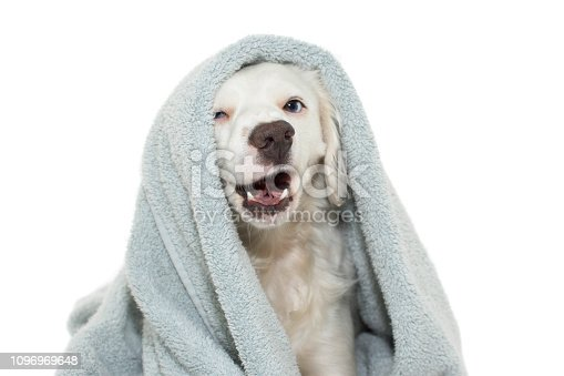 DOG BATHING. FUNNY  DOG WITH BLUE EYES  WRAP WITH A COLORED TOWEL WAITING FOR A SHOWER. ISOLATED AGAINTS WHITE BACKGROUND.