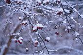 боярышник на ветке со снегом и инеем