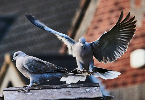 PIGEON RING NECK DOVES AT FEEDING TABLE WILD RING NECK DOVES AT FEEDING TABLE feeding frenzy stock pictures, royalty-free photos & images