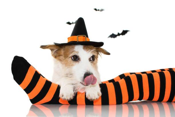 halloween-hund in eine hexe oder zaubererhut kostüm sitzen über gestreiften orange und schwarzen socken des besitzers kind, verknüpfung mit zunge vor weißem hintergrund mit textfreiraum isoliert. - hunde strumpfhosen stock-fotos und bilder
