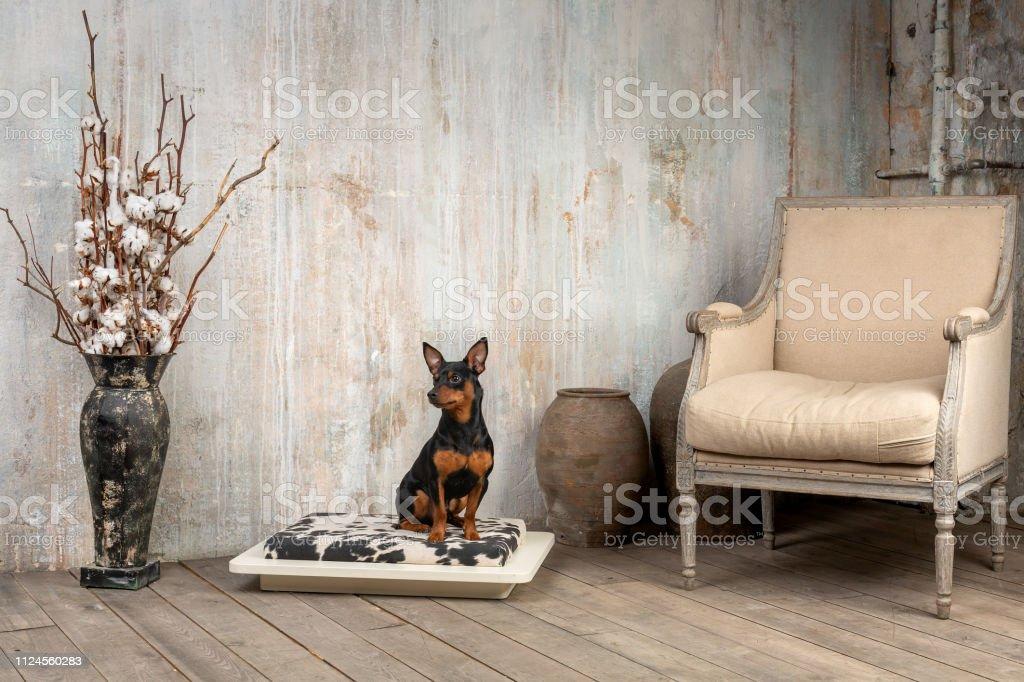 Маленькая собака на софе в интерьере stock photo