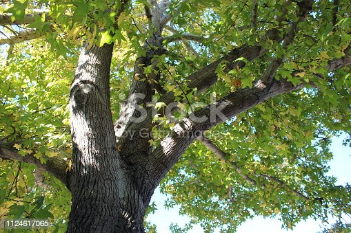 How did I get here? You were brought Where did I come from? The Southwestern United States What am I? Liquidambar Styraciflua