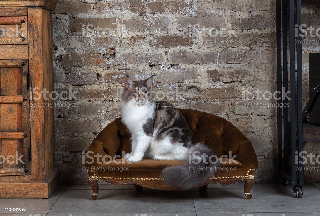 Красивый кот в интерьере stock photo