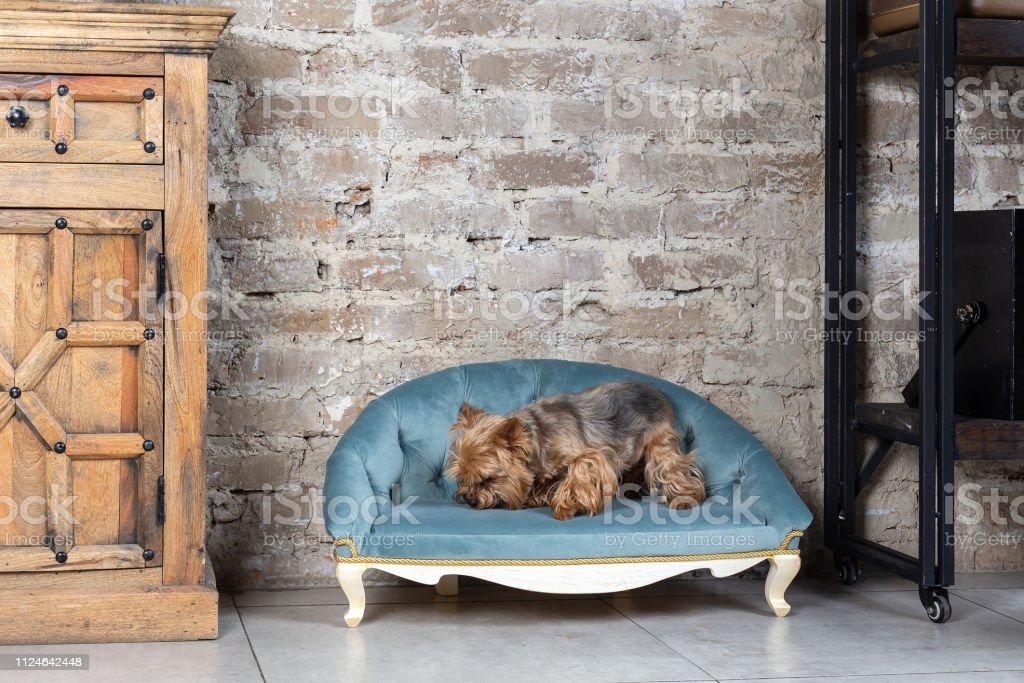 Маленькая собака в интерьере stock photo