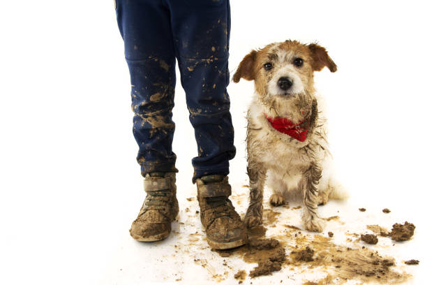 funny dirty dog and child. jack russell dog and boy wearing boots after play in a mud puddle with ashamed expression. isolated studio shot against white background. - błoto zdjęcia i obrazy z banku zdjęć
