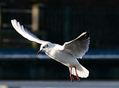 SEAGULLS HOVERING LANDING FLOATING PIGEON CLOSE UP