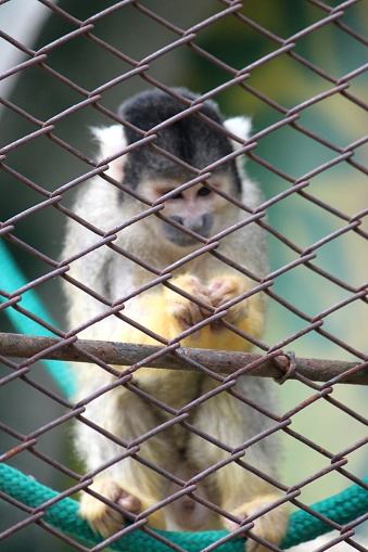 YELLOW JUMPSUIT SQUIRREL, PRIMATE, BACK WIRE FENCE