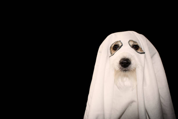 DOG HALLOWEEN GHOST COSTUME PARTY.  JACK RUSSELL COVERED WITH A BLANKET. ISOLATED AGAINTS BLACK BACKGROUND. DOG HALLOWEEN GHOST COSTUME PARTY.  JACK RUSSELL COVERED WITH A BLANKET. ISOLATED AGAINTS BLACK BACKGROUND. pet clothing stock pictures, royalty-free photos & images