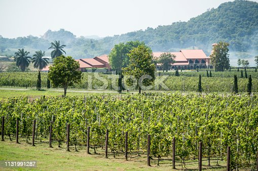 the agriculture of the Wineyard of Silver lake near the city of Pattaya in the Provinz Chonburi in Thailand.  Thailand, Pattaya, November, 2018