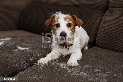 FURRY JACK RUSSELL DOG, SHEDDING HAIR DURING MOLT SEASON PLAYING ON SOFA.
