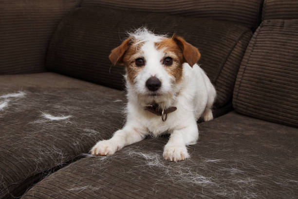 FURRY JACK RUSSELL DOG, SHEDDING HAIR DURING MOLT SEASON PLAYING ON SOFA. FURRY JACK RUSSELL DOG, SHEDDING HAIR DURING MOLT SEASON PLAYING ON SOFA. animal hair stock pictures, royalty-free photos & images