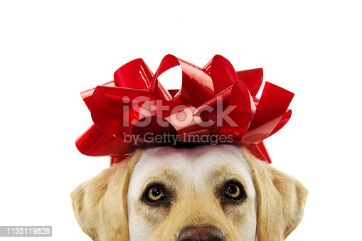 istock CLOSEUP DOG PRESENT. LABRADOR  WITH A BIG RED BOW ON HEAD. PUPPY OR PET GIFT FOR CHRISTMAS OR BIRTHDAY CONCEPT. ISOLATED SHOT AGAINST WHITE BACKGROUND. 1135119828