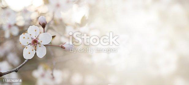 1135260918 istock photo BANNER SPRING FLOWER BACKGROUNDS. WHITE BLOSSOM ON NATURAL DEFOCUSED BLURRED BACKGROUND. 1135260918